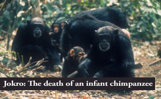 Jokro: The death of an infant chimpanzee